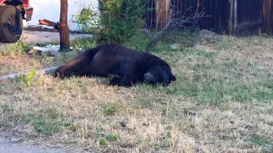 Colorado Springs Residents Upset After Bear Found Dead In Front Yard